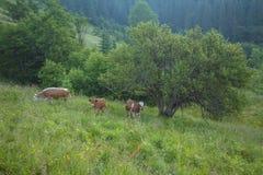 Grüne Wiese in den Bergen und in den Kühen Stockfoto