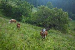 Grüne Wiese in den Bergen und in den Kühen Stockbild