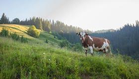 Grüne Wiese in den Bergen und in den Kühen Lizenzfreie Stockfotografie