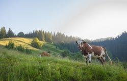 Grüne Wiese in den Bergen und in den Kühen Stockfotos