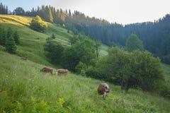 Grüne Wiese in den Bergen und in den Kühen Lizenzfreies Stockbild