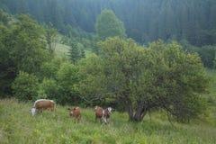 Grüne Wiese in den Bergen und in den Kühen Lizenzfreie Stockbilder