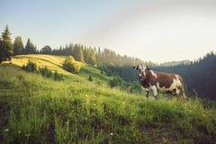 Grüne Wiese in den Bergen und in den Kühen Stockbilder