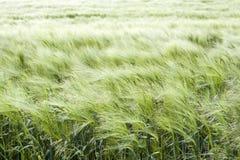 Grüne Wiese des Sommers Stockfoto