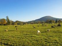 Grüne Wiese mit dem Weiden lassen des Kuhviehs auf Weide mit Herbstland Stockfoto