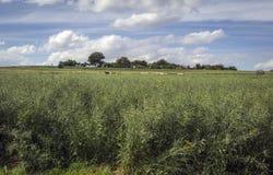 Grüne Wiese mit dem Weiden lassen von Pferden und von Wolken Stockbilder