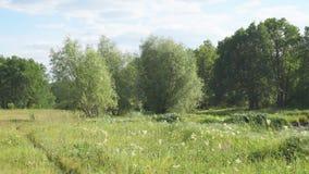 Grüne Wiese mit weißen Blumen vor Wald stock video
