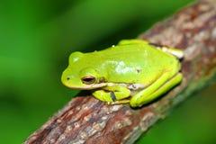 Grüne wild lebende Tiere Treefrog Illinois Stockfoto