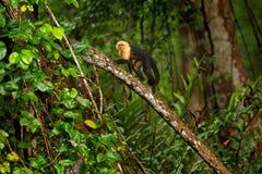 Grüne wild lebende Tiere von Costa Rica Schwarzer Affe Weiß-köpfiger Capuchin, der auf dem Baumast im dunklen tropischen Wald-Ceb Stockbild