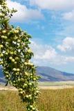 Grüne wilde Äpfel Lizenzfreie Stockbilder