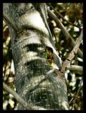 Grüne Zikade, die im Baum summt lizenzfreie stockbilder