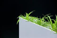 Grüne Zimmerpflanze des Büros in einem weißen Topf auf einem schwarzen Hintergrund, Raumdekoration Stockbild