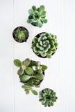 Grüne Zimmerpflanzen eingemacht, succulentson sauberes weißes hölzernes backg Stockfotografie