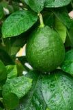 Grüne Zitrone auf einem Zitronenbaum Lizenzfreie Stockbilder