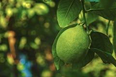 Grüne Zitrone auf einer Niederlassung in der frischen grünen Zitrone des Gartens, die an den Niederlassungen mit Blättern auf ein lizenzfreie stockbilder