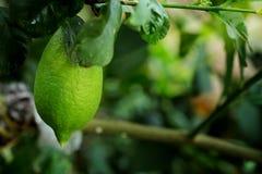 Grüne Zitrone auf Zitronenbaum im grünen Bauernhofhintergrund Stockbild
