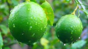 Grüne Zitrone im japanischen Garten Lizenzfreie Stockbilder