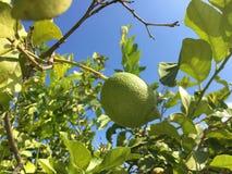 Grüne Zitronen auf einem Baum Lizenzfreie Stockfotos