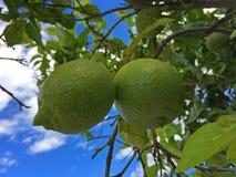 Grüne Zitronen auf einem Baum mit blauem Himmel Stockbilder