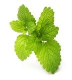 Grüne Zitronenmelisse, tadellose Blätter Lizenzfreies Stockfoto
