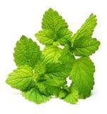 Grüne Zitronenmelisse, tadellose Blätter Lizenzfreie Stockfotos