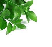 Grüne Zweige lizenzfreie stockfotos