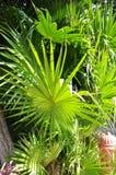 Grüne Zweige der Palmen. Stockbilder