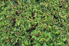 Grüne Zweige von Thuja stockfoto