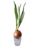 Grüne Zwiebel wachsen im Glas lizenzfreies stockfoto