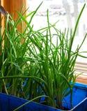 Grüne Zwiebeln. Stockfoto