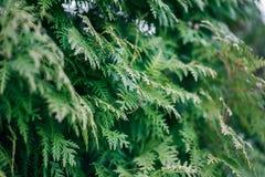 Grüne Zypressenbaumnahaufnahme, Weichzeichnung, Hintergrund Lizenzfreies Stockbild