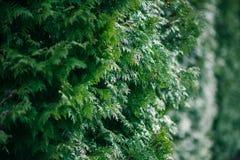 Grüne Zypressenbaumnahaufnahme, Weichzeichnung, Hintergrund Stockbilder