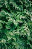 Grüne Zypressenbaumnahaufnahme, Weichzeichnung, Hintergrund Lizenzfreies Stockfoto