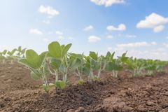 Grünen Sie angebaute Sojabohnenölbohnenanlage auf dem Gebiet, Frühlingszeit stockfoto