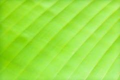 Grünen Sie Bananenblathintergrund Stockfotos