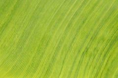 Grünen Sie Bananenblathintergrund Lizenzfreies Stockfoto