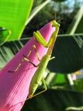 Grünen Sie betenden Mantis stockfoto