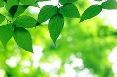 Grünen Sie Blätter Stockbilder