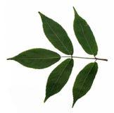 Grünen Sie Blätter Stockfoto