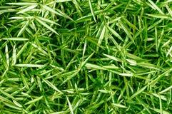 Grünen Sie Blätter der Strauchspinnenanlage. Stockfoto