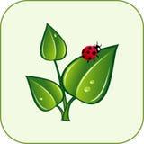 Grünen Sie Blätter mit Marienkäfer Stockfotos