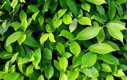 Grünen Sie Blätter mit Wassertropfen Stockbild