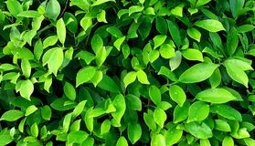Grünen Sie Blätter mit Wassertropfen Lizenzfreies Stockbild