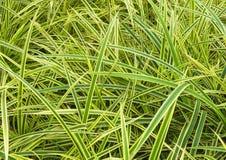 Grünen Sie Blätter von Chlorophytum comosum Stockbild