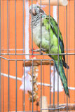 Grünen Sie den mit Federn versehenen Papageien, der zwar den Stangen eines Vogelkäfigs geschossen wird lizenzfreies stockfoto