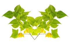 Grünen Sie die getrennten Blätter Stockfotografie