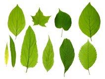 Grünen Sie die getrennten Blätter Lizenzfreie Stockfotos