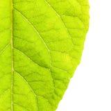 Grünen Sie die getrennten Blätter Lizenzfreies Stockfoto