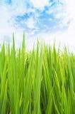 Grünen Sie Feld, Himmel und Wolken Stockfoto
