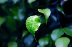 Grünen Sie frisches Blatt mit Wassertröpfchen Stockfoto